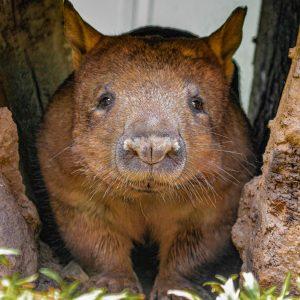 Close up of Australian Wombat between rocks