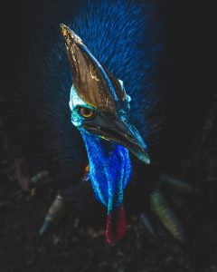 close up, birds professional photo of Cassowary Bird with low light and strong contrast, by Elyse Fitzpatrick