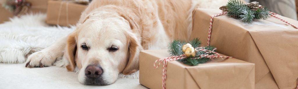 White labrador dog rests on rug next to Christmas presents during holiday season