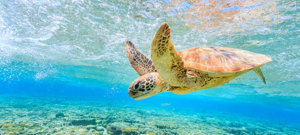 turtle swims near NQ island
